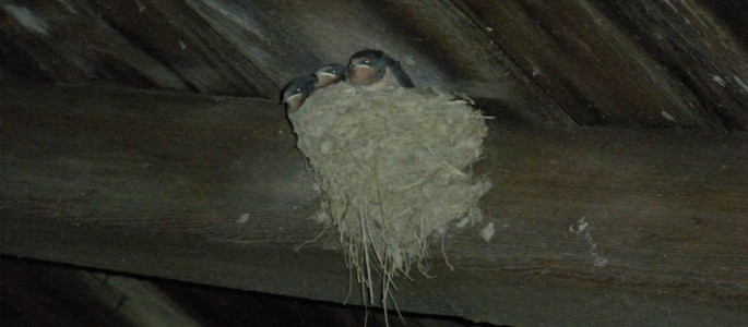 Nesting birds in shed